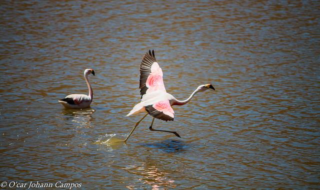 Parina Grande - Andean Flamingo