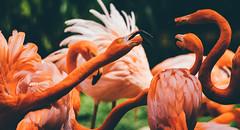Streithähne (sfp - sebastian fischer photography) Tags: fauna heidelberg zoo flamingos