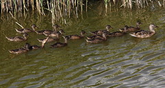 Eroica (lincerosso) Tags: uccelli germanoreale anasplatyrhynchos covata primavera allevamento palude vallevecchia caorle bellezza armonia eroismo