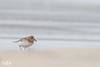 Sanderling (St. Ninian's beach, Shetland) (Renate van den Boom) Tags: 05mei 2018 drieteenstrandloper europa grootbrittannië jaar maand mainland renatevandenboom shetland vogels