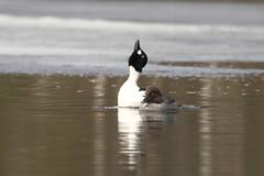 Brilduiker - Common Goldeneye - Bucephala clangula (marcdeceuninck) Tags: nature natuurfotografie finland vogels birds brilduiker commongoldeneye bucephalaclangula garrotàoeildor