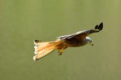 Red kite flying at eye level (karen leah) Tags: redkite bird birdofprey nature wildlife outdoors bwlchnantyrarian ceredigion may spring flight