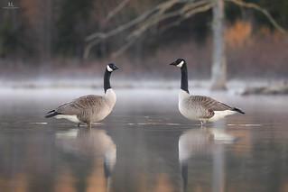 Canada goose - Bernache du Canada - Branta canadensis