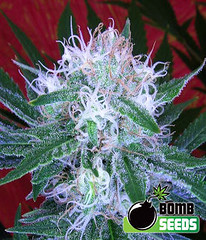 Auto_Bomb_4f0256366fe29 (Watcher1999) Tags: auto bomb cannabis seeds marijuana california medical bob marley growing weed smoking reggae legalize it ganja