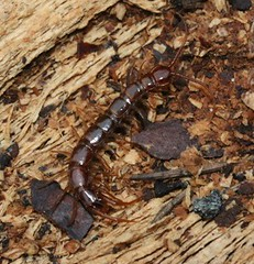 centipede cf lthobius sp lithobiidae (BSCG (Badenoch and Strathspey Conservation Group)) Tags: centipede lithobiidae arthropod deadwood woodlandedge sw may