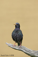 Starling_Sturnus vulgaris_4099 (David Fyles) Tags: sturnusvulgaris starling adult uk unitedkingdom british bird wild