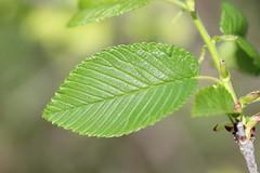 Red Elm Leaves (corey.raimond) Tags: elm ulmus ulmusrubra tree leaves wisconsin flora plant ulmaceae redelm slippery slipperyelm