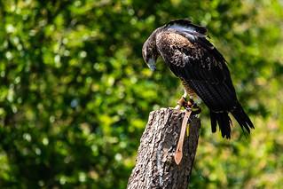 Black Chested Buzzard Eagle