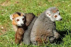 Crowned Lemur (M/F) (K.Verhulst) Tags: kroonmaki crownedlemur lemur maki twins tweeling amersfoort dierenparkamersfoort