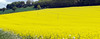 Rapeseed Pano (martin.bruntnell) Tags: rapeseed field cravenarms shropshire