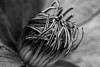 Macro (140/365) (Capturing The Negative) Tags: flower flowers macro blackandwhite bnw bw canon canon650d 50mm fltofb