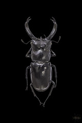 Arthropods-Heylen-Miguel-1012 (Miguel Heylen) Tags: insectesmiguelheylenmacrophotographiemacrobuginsectnikond5100tamron90mmnaturearthropodaarthropodehexapodearthropodaarthropodehexapode arthropod arthropoda arthropode macro insec insecte bug pinnedarthropod insecteépinglé insectenaturalisé hexapoda hexapode hexapod lucanus cervus lucanuscervus lucane lucanecerfvolant coleoptera coléoptère