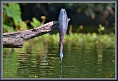 Pointing to something in the bayou (WanaM3) Tags: wanam3 nikon d7100 nikond7100 texas pasadena clearlakecity horsepenbayou bayou outdoors branch wildlife nature canoeing paddling animal bird heron greenie greenheron