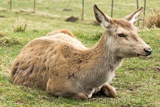 deer - Hghland Safaris in Aberfeldy