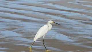 Garça-branca-pequena - Snowy Egret explore