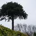 Tree in Dalkey, Ireland