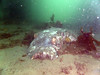 20180424-Clifton-153 (frannyfish) Tags: dead smooth ray finned clifton gardens sydney