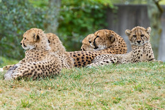 Toronto Zoo - Cheetahs (InfiniteBlue) Tags: acinonyxjubatus animals canada cheetah country felidae felines infiniteblue mammals northamerica on ontario scarborough toronto torontozoo