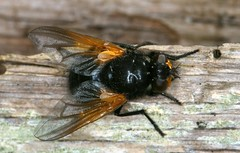 Mesembrina meridiana (chug14) Tags: unlimitedphotos macro insecte animalia arthropoda hexapoda insecta diptera brachycera muscidae muscinae muscini mésembrine mésembrinedumidi muscameridiana mesembrinameridiana