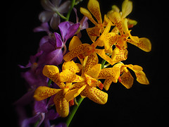 An Orchid Bunch (Smiffy'37) Tags: orchids flowers closeup blackbackground vignette nature flora colourful