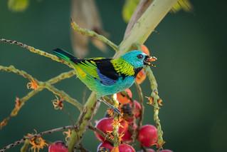Saíra-sete-cores (Tangara seledon) Green-headed Tanager