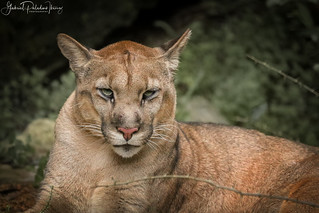 Puma concolor anthonyi