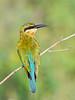 Sri Lanka '17_1045 (Jimmy Vangenechten 76) Tags: geo:lat=800337156 geo:lon=8086908153 geotagged srilanka ceylon asia azië indianocean indische oceaanwildlifeanimalbirddiervogelwilpattu national parkbluetailed beeeatermerops philippinus blauwstaartbijeneter minneriyawewa minneriyanationalpark thimbirimulla