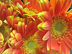 Spring Bright (bigbrowneyez) Tags: gerbera flowers blossoms beautiful vibrant orangeyellow elegant petals fresh gorgeous details closeup fiori belli bellissimi precious luminous nature natura bouquet lovely fleurs striking stunning primavera may springbright gerberablossoms fabulous delightful upliftng