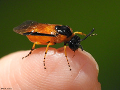 "Rose sawfly (Geminiature Nature+Landscape Photography Mallorca) Tags: macro raynox raynox250 dcr dcr250 mallorca argeochropus ""avispadelrosal"" himenóptero sawflies sawfly rosesawfly argidae gelerozebladwesp"