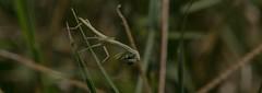 My Prayers Are With You (harefoot1066) Tags: mantodea mantidae mantinae mantis tenodera tenoderasinensis chinesemantis prayingmantis