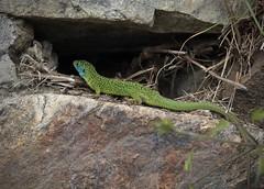 lézard vert (bulbocode909) Tags: valais suisse lézardsverts reptiles nature montagnes printemps vert bleu murs pierres rochers fabuleuse