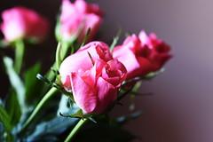 DSC_9282 (PeaTJay) Tags: nikond750 sigma reading lowerearley berkshire macro micro closeups gardens indoors nature flora fauna plants flowers bouquet rose roses rosebuds