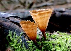 Podoscypha petalodes (Bernard Spragg) Tags: podoscyphapetalodes fungi nature wetknee macro closeup lumix