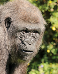 western lowlandgorilla Tonka BB2A6125 (j.a.kok) Tags: gorilla westelijkelaaglandgorilla westernlowlandgorilla lowlandgorilla laaglandgorilla animal africa afrika blijdorp aap ape mammal monkey mensaap zoogdier dier tonka