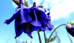 Orliki. (andrzejskałuba) Tags: polska poland europe flower orlik garden natura nature kwiat macro niebieski blue green sky clouds 100v10f pieszyce silesia