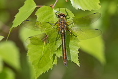 Downy Emerald (drbut) Tags: downyemerald corduliaaenea dragonfly ponds woodland nature wildlife canonef300f4lisusm