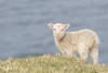 New life, lamb at Unst, Shetland (Renate van den Boom) Tags: 05mei 2018 europa grootbrittannië jaar maand renatevandenboom schaap shetland unst zoogdieren