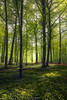 Sunspots (Ron Jansen - EyeSeeLight Photography) Tags: beech tree trees forest spring wood anemones vestfold norway green yellow light leaf leafs fresh lush carpet depth