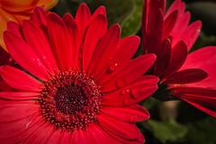 Gerber Daisies (Modkuse) Tags: nikond100 daisy daisies gerberdaisy flower flowers nikon nikondslr 105mmf28nikkormacro nikkor105mmf28macro nikonaf105mmf28nikkormacro 105mm macro macrophotography macrolens macroflowers nikonmacro