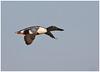 Shoveler (Antony Ward) Tags: yorkshirewildlifetrust shoveler bif birdsinflight