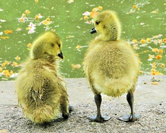 """""""Think my bum looks big in feathers?"""" (seanwalsh4) Tags: canadageesegoslings makemesmile fun laugh nature funny cute nice natural humour sweet yellow eastvilleparklake bristol feathery urbanwildlife talking wetfeathers seanwalsh naturephotography"""