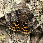 locust underwing thumbnail