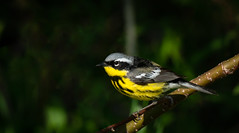Magnolia Warbler Portrait (rmikulec) Tags: magnolia warbler bird birding spring springtime migration ornithology songbird small cute nature wild wildlife photography yellow branch tree forest hike