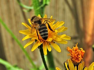 Erste Biene