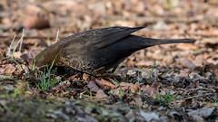 blackbird (JOHN BRACE) Tags: turdus merulaseen blackbird seen buchan park crawley they must be some food round here somewhere