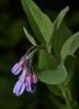 Virginia_Bluebells_194 (McConnell Springs) Tags: virginiabluebells wildflower lexingtonky lexingtonparksrecreation mcconnellspringspark mcconnellsprings springwildflower