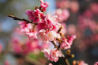 �蜜蜂嗡嗡|Cherry blossom