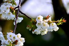 Blancheur immaculée (Diegojack) Tags: printemps d7200 fleurs blancheur cerisiers immaculée echandens vaud suisse fabuleuse