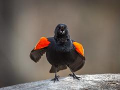 Singing Up A Storm (hey its k) Tags: 2018 birds cherryhillrbg nature redwingedblackbird wildlife burlington ontario canada ca img9960e tamron canon6d 150600mm