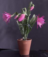 Epi Time (nitedojo) Tags: epiphyllum nitedojo